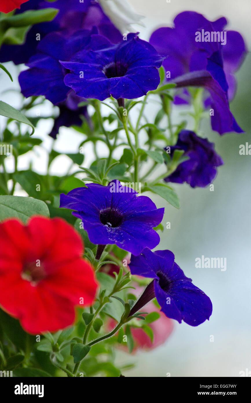 Bunch of petunia flower blooms in summer garden. - Stock Image