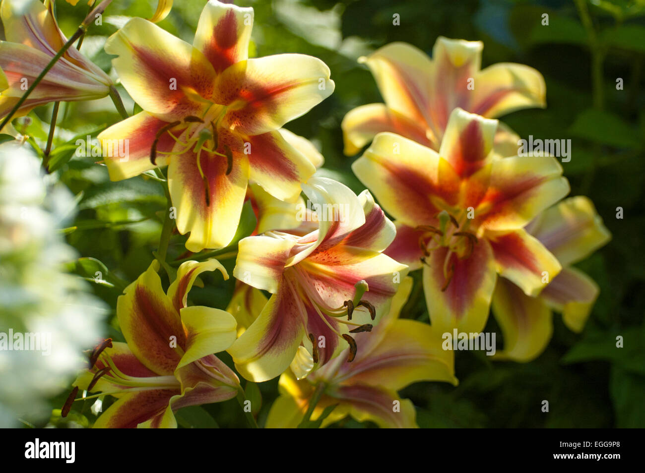lily (latin lílium) - genus of plants in the family liliaceae stock