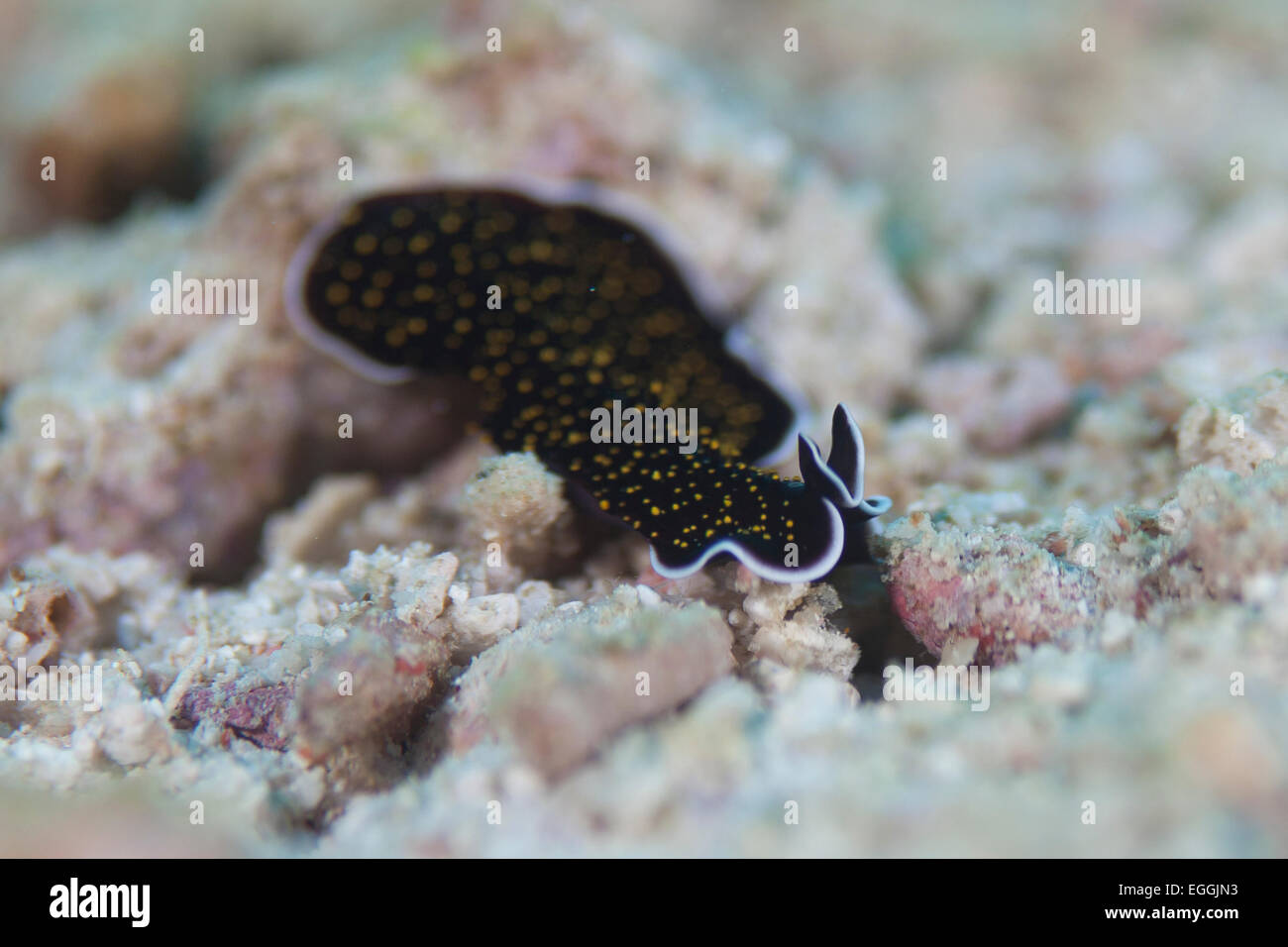 Flat worm marine invertebrate - Stock Image