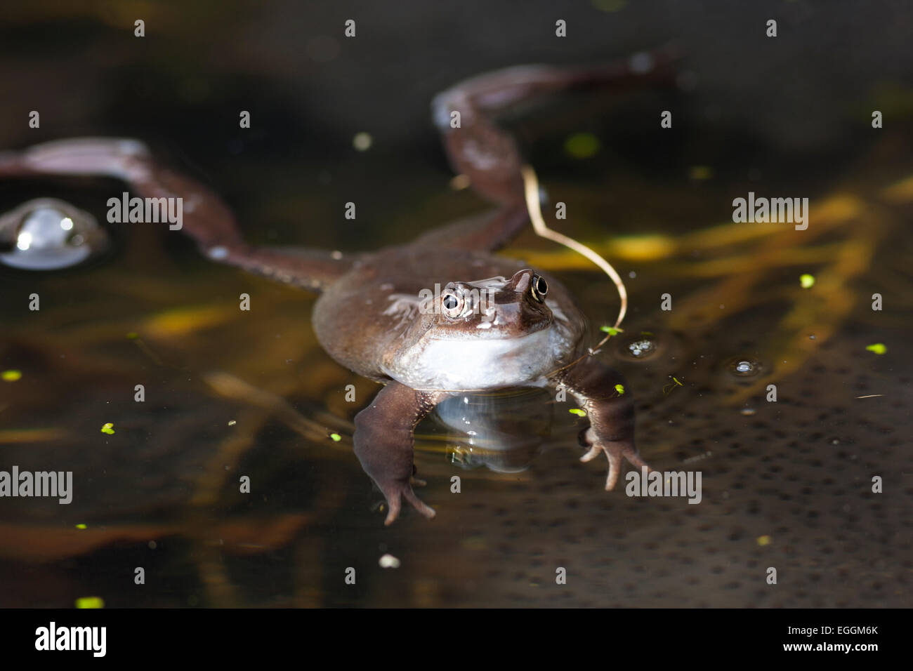 frog in pond guarding spawn - Stock Image