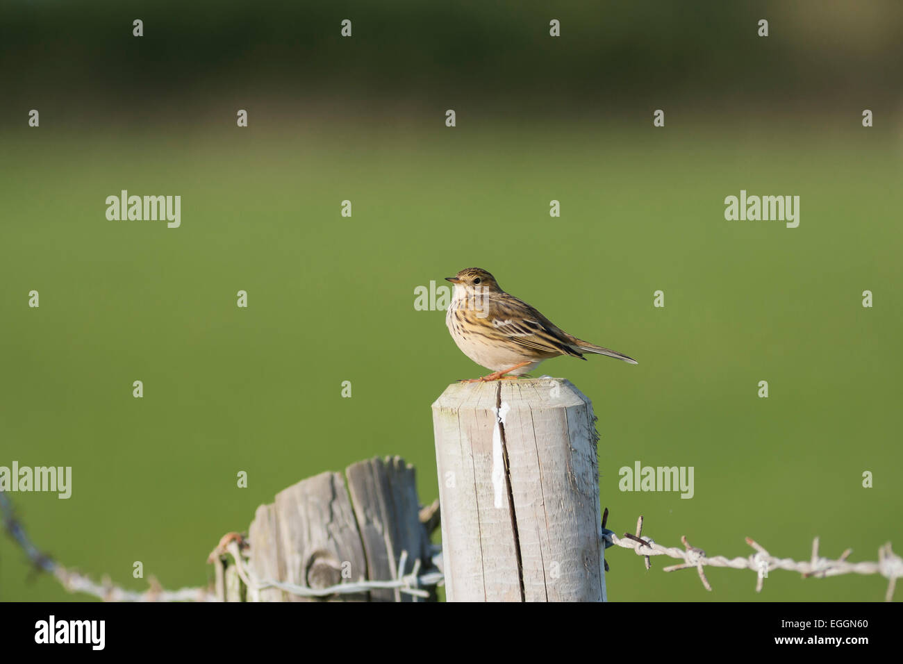 meadow pipit on fence post with barbed wire - Stock Image