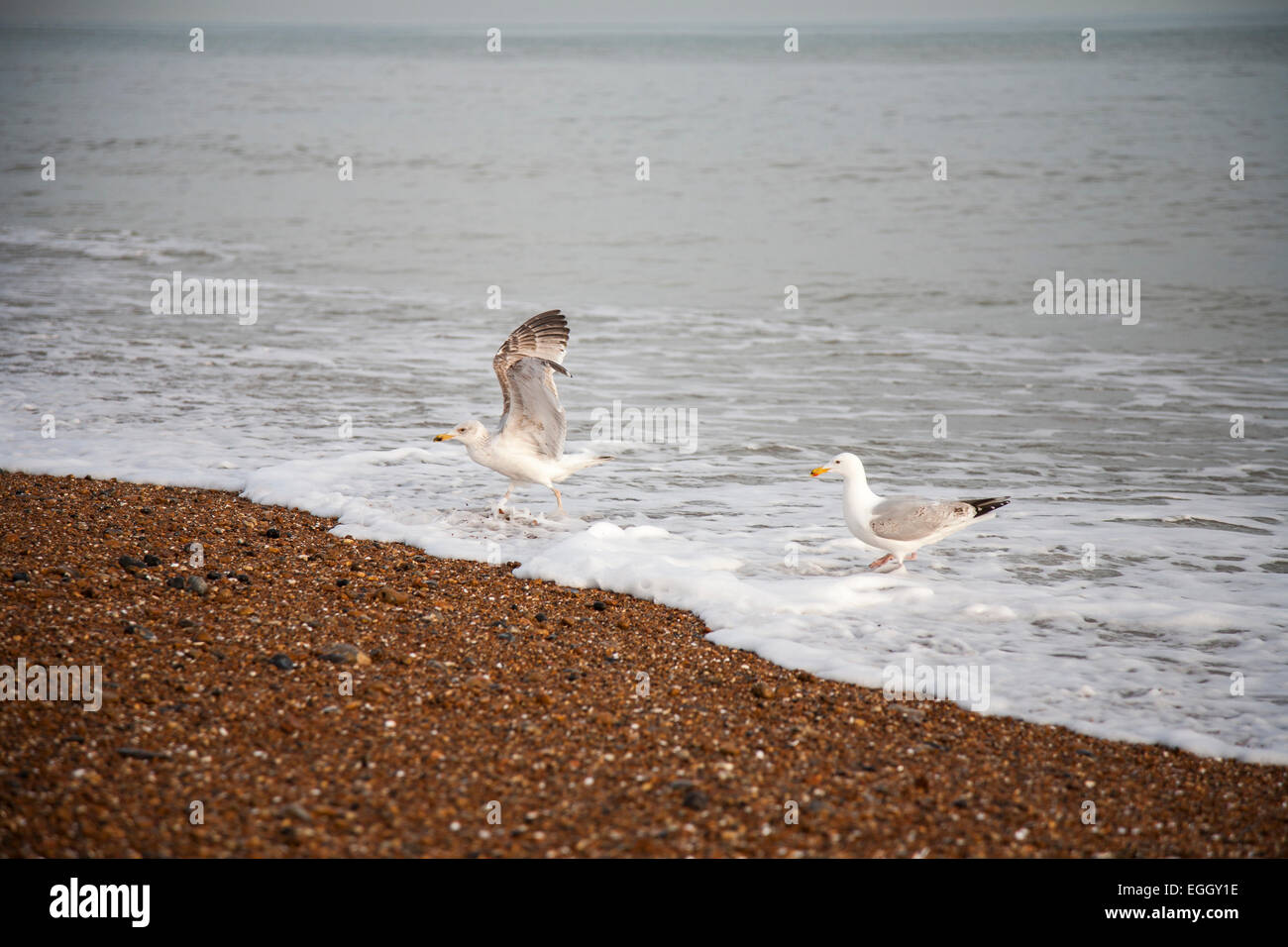Herring gulls, one adult, one second winter plumage - Stock Image
