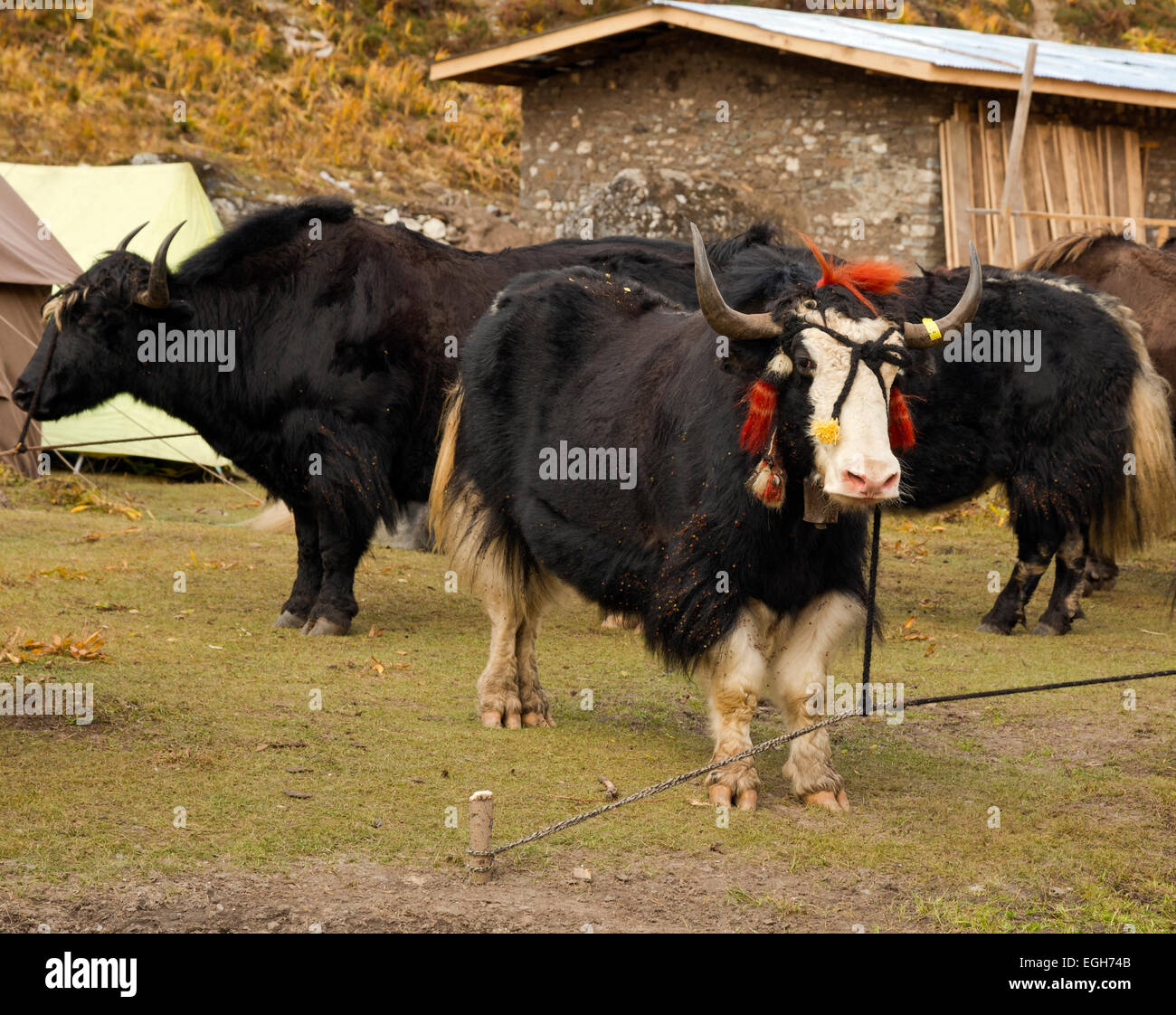 BHUTAN - Yaks waiting at Jangothang Campsite to carry loads for trekkers over passes that are too high for the ponies - Stock Image