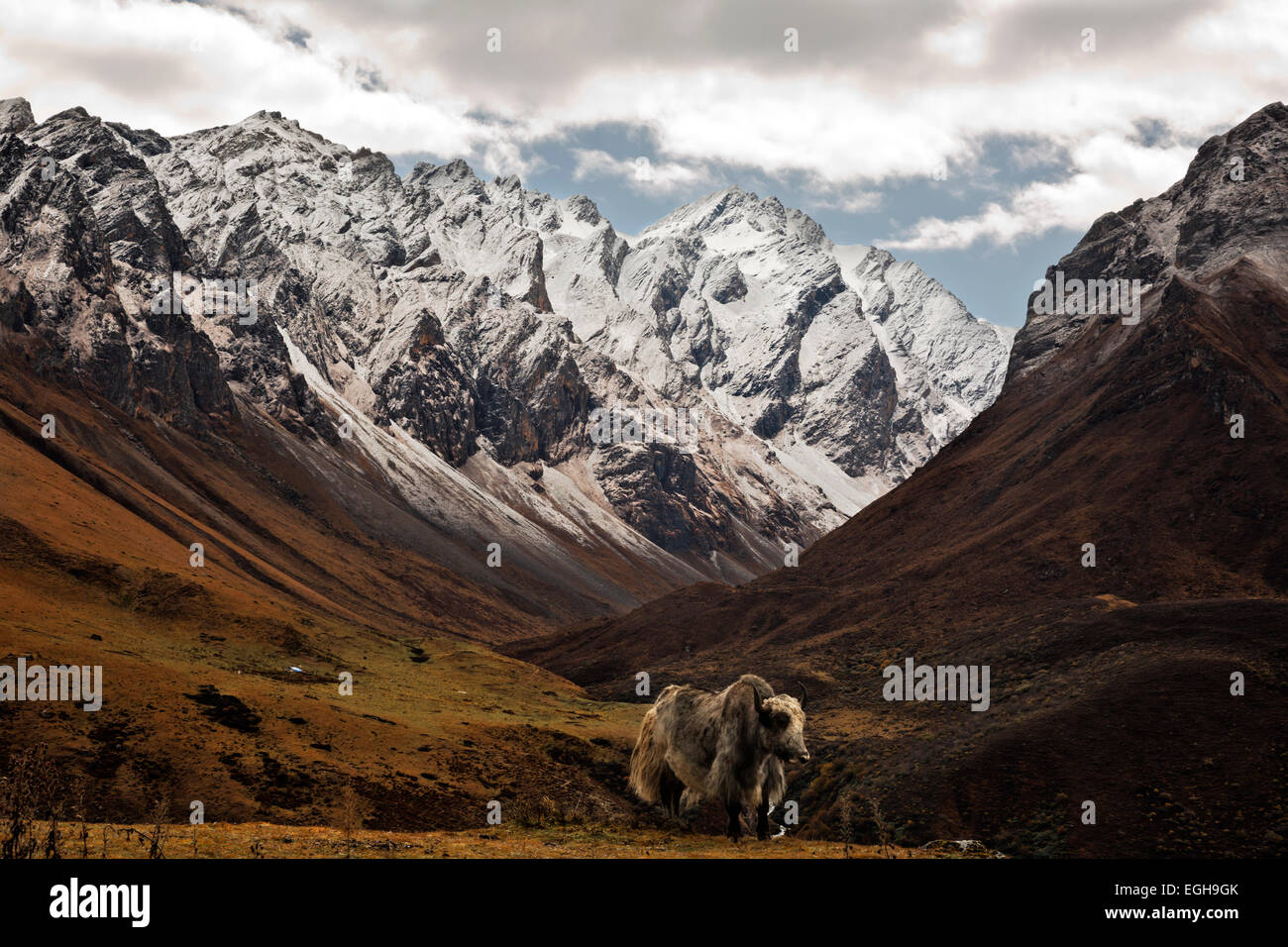 BU00214-00...BHUTAN - A yak grazing on the open hillsides of the valley of the Tshophu lakes. - Stock Image