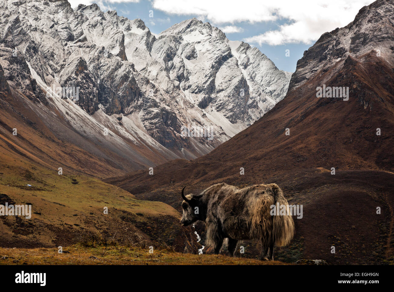 BHUTAN - Yak on hillside above the trekkers Base Camp (Jangothang) overlooking the trail to Bhonte La route of Jhomolhari - Stock Image