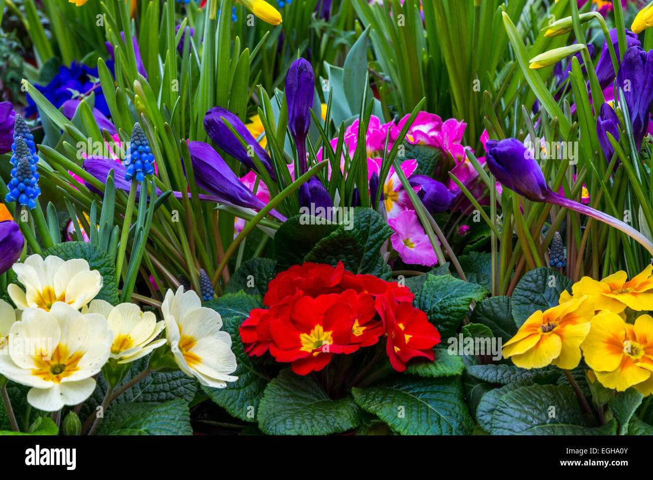 Annual flowers flower bed stock photos annual flowers flower bed a very colorful garden made up of primula daffodil crocus and grape hyacinth izmirmasajfo