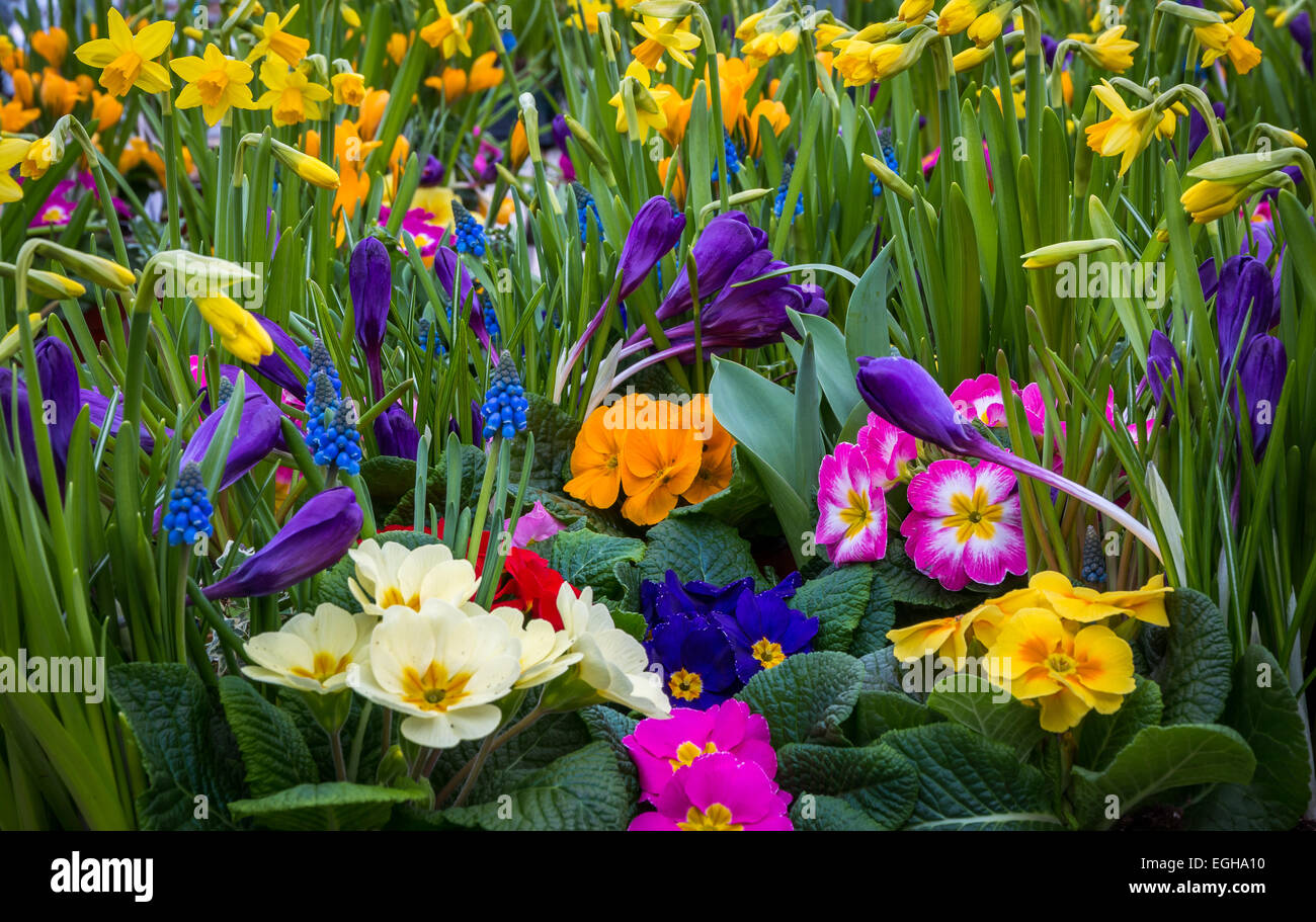 Daffodil And Primrose Flowers Stock Photos & Daffodil And Primrose ...