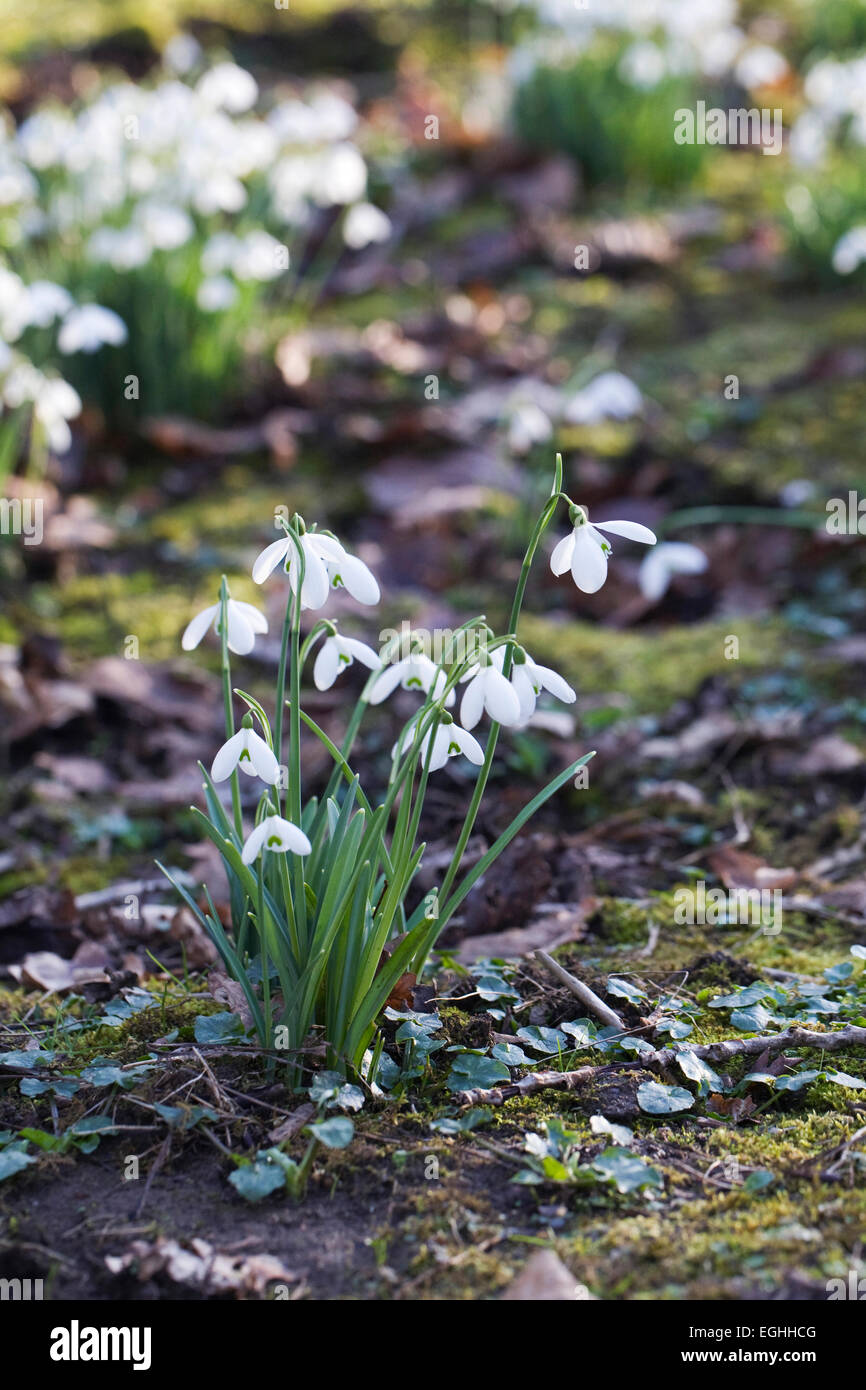 Galanthus 'Magnet'. Species snowdrop growing on the edge of a woodland garden. - Stock Image