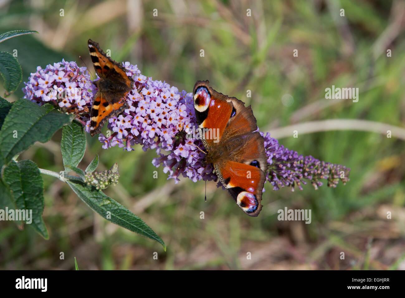 Peacock and Small Tortoiseshell butterflies nectaring on Buddleia flowers, Cornwall, England, UK. - Stock Image