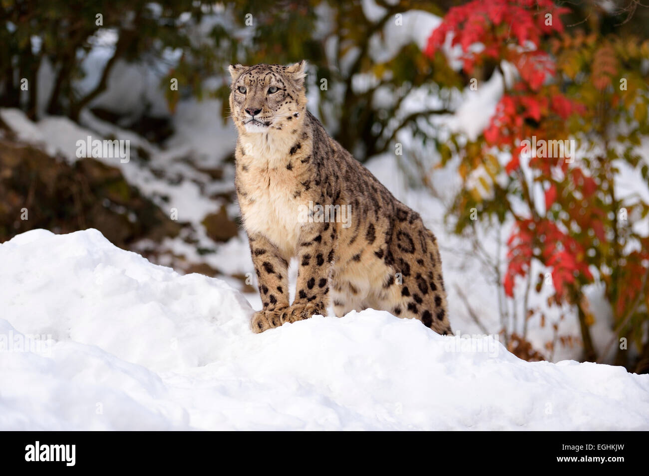 Snow Leopard (Panthera uncia), male, in the snow, captive, Switzerland - Stock Image