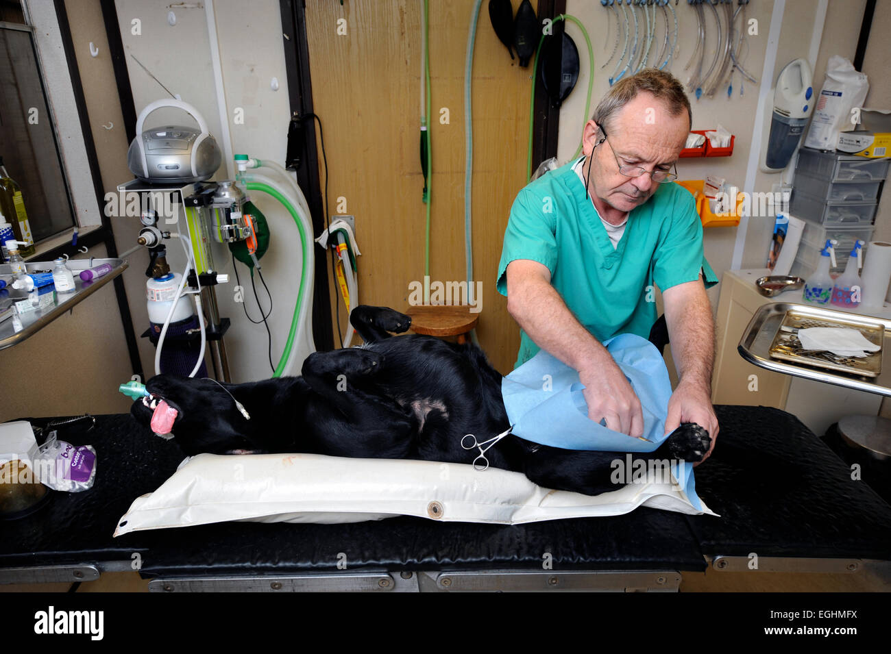 Veterinary Surgeon Krzysztof Trojanowski neuters a dog at the Many Tears Animal Rescue centre near Llanelli, S. - Stock Image