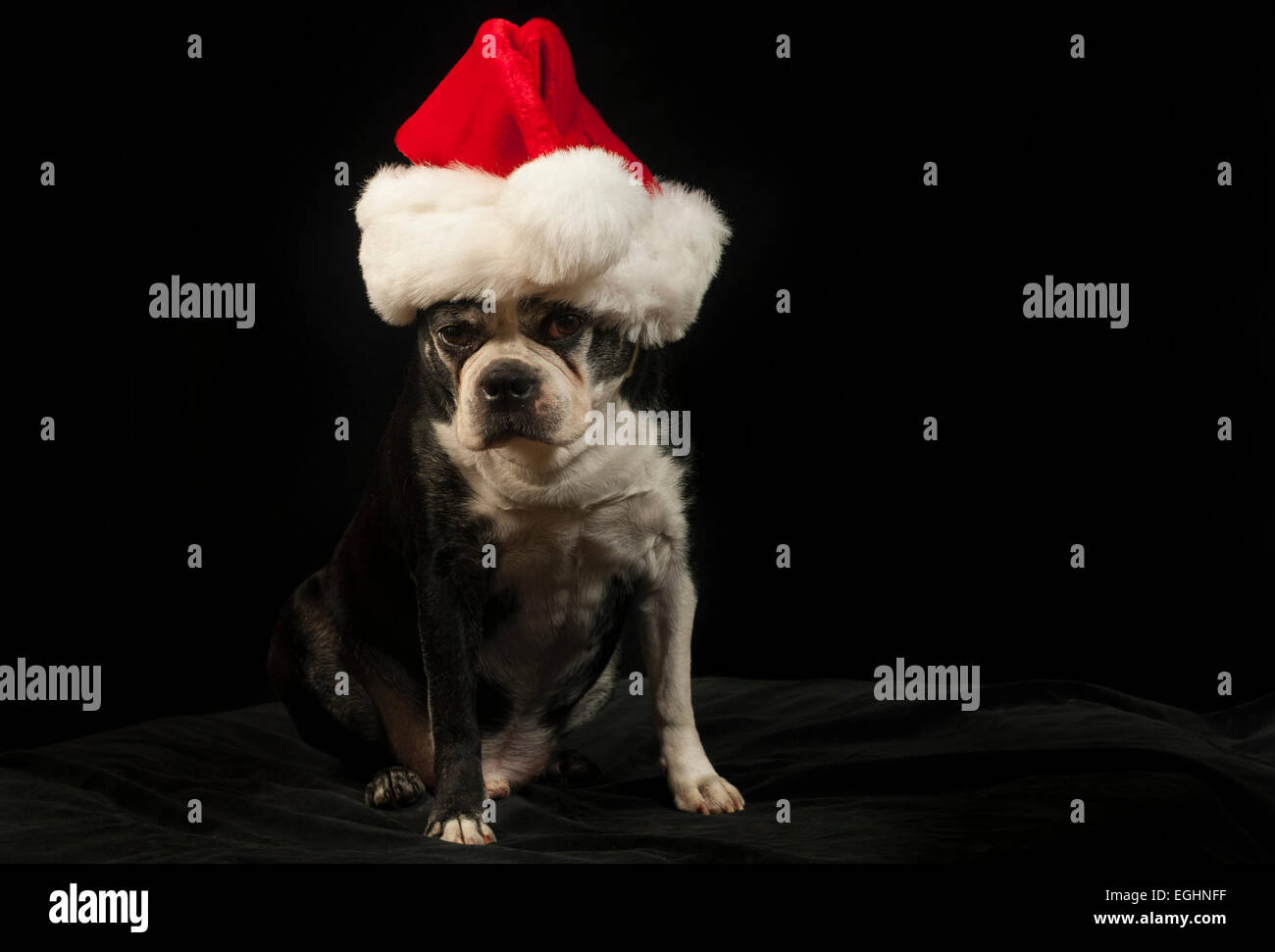 Christmas with a Boston Terrier - Stock Image