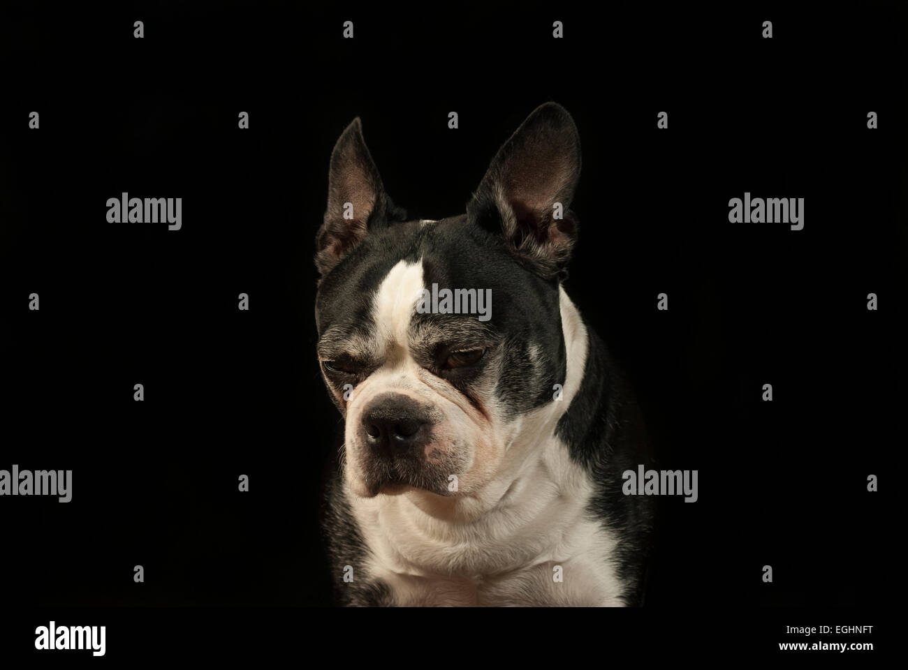 Boston Terrier at the studio - Stock Image