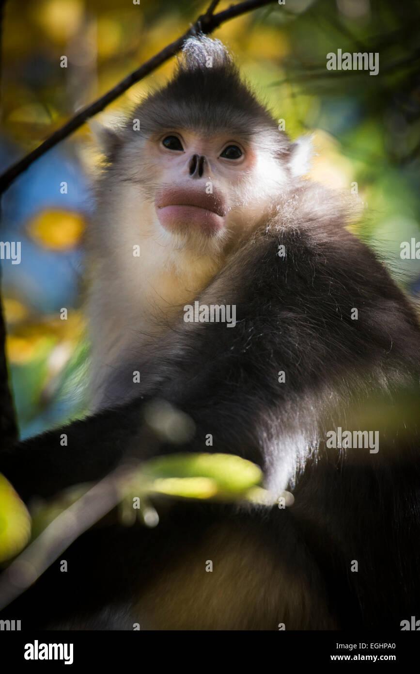 Snub nosed monkey, Yunnan, China Stock Photo
