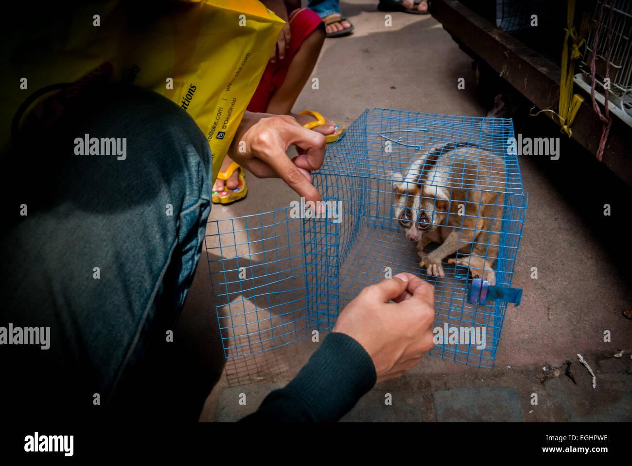 Javan slow loris (Nycticebus javanicus) at illegal animal market in Jakarta, Indonesia. - Stock Image