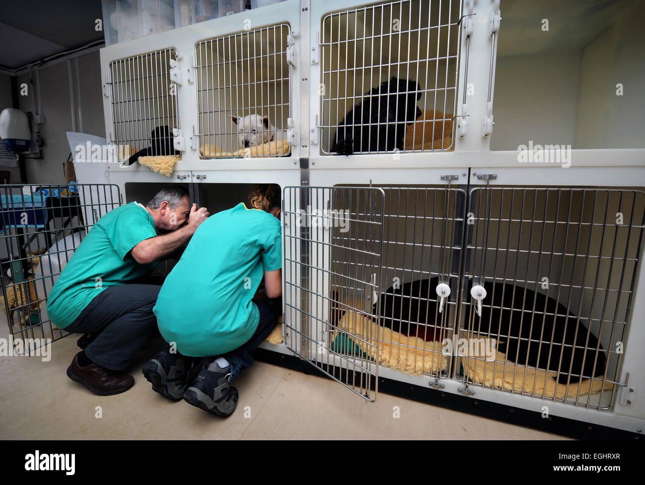 A Veterinary Surgeon and nurse coax a dog from his kennel for neutering at the Many Tears Animal Rescue centre near - Stock Image