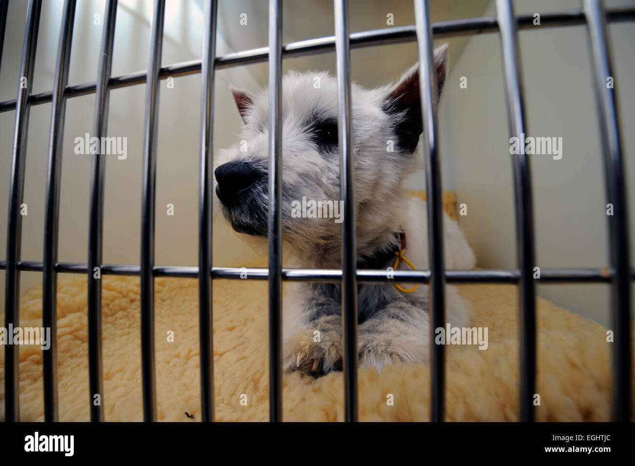 A dog in the vets surgery at the Many Tears Animal Rescue centre near Llanelli, S. Wales UK - Stock Image
