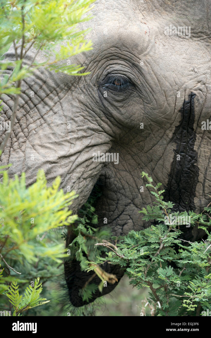 African elephant (Loxodonta africana) in musht, temporin secretion from a gland, closeup, Kruger National Park, - Stock Image