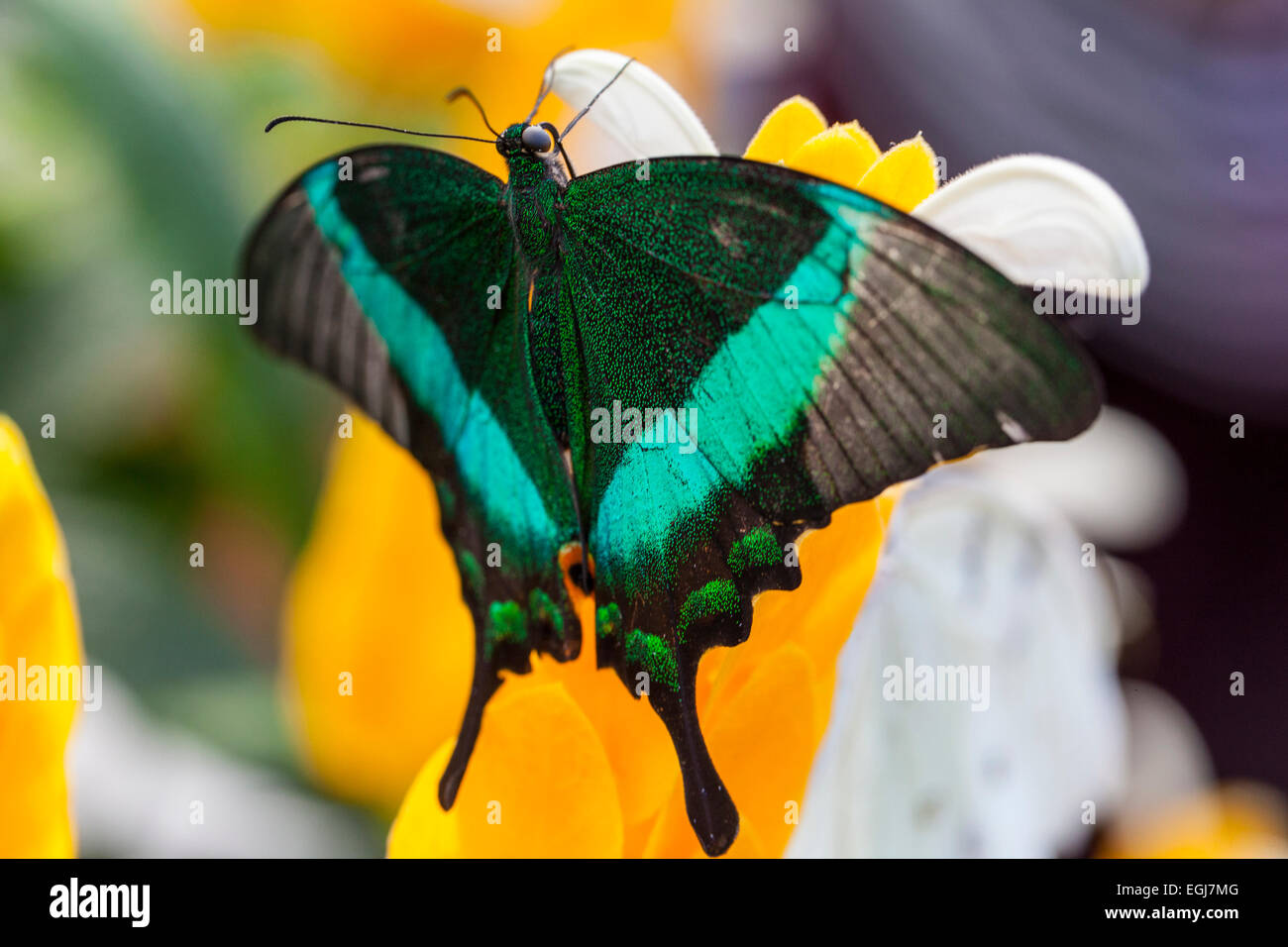Banded Peacock Papilionidae  Papilioninae butterfly botanical gardens flowers leaf leaves branch nature colourful - Stock Image