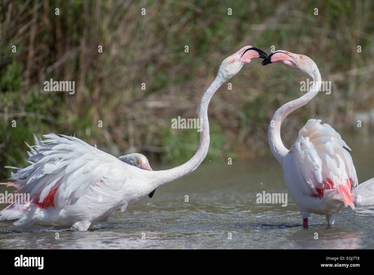 PARC ORNITOLOGIQUE DU PONT DE GAU, FRANCE - MAY 15, 2014: Pair of greater flamingoes (Phoenicopterus roseus). Stock Photo