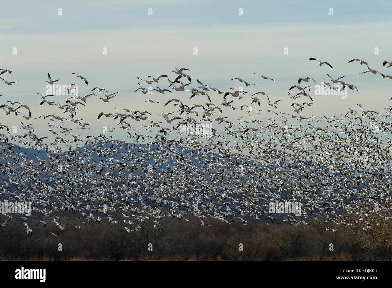 A flock of snow geese in the sky of Bosque Del Apache in New Mexico, USA Stock Photo