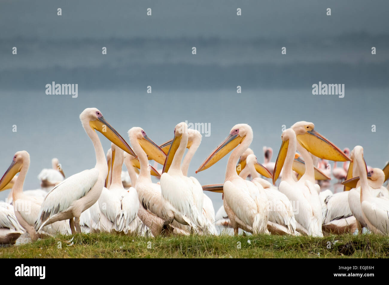 Pelicans flog together on the shores and in the shallow waters of Lake Nakuru. - Stock Image