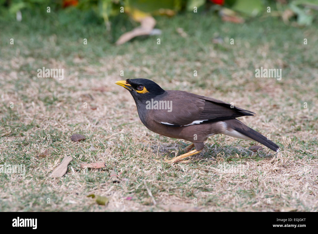 A Common Myna (Acridotheres tristis) foraging for food in Lodi Gardens in New Delhi, India - Stock Image