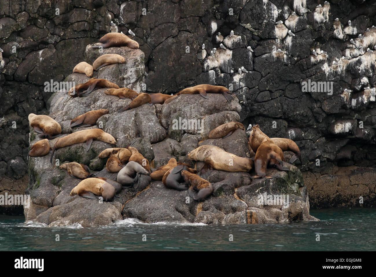 Stellar sea lions, Kenai Fijords NP, Seward, AK Stock Photo