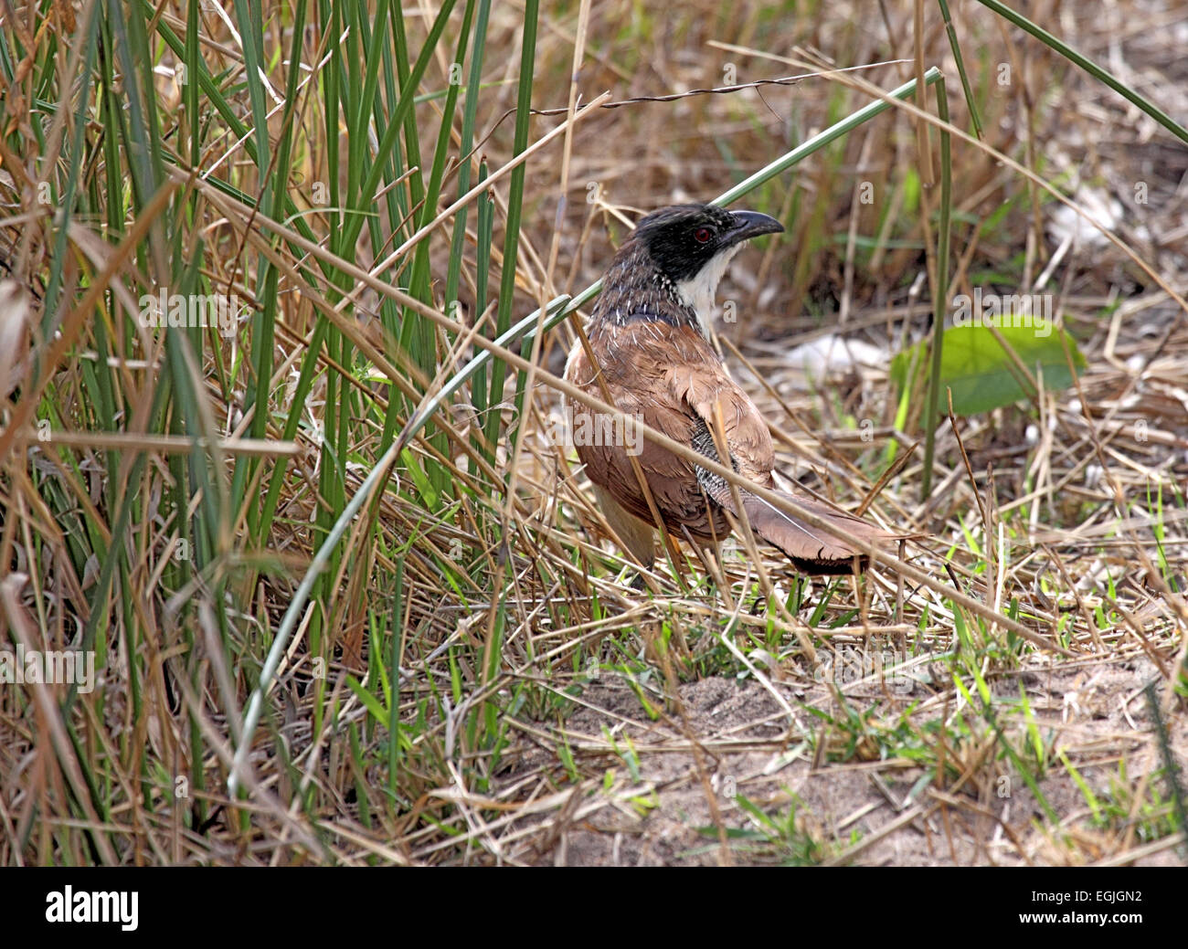 Burchell's coucal foraging on the ground in South Africa - Stock Image