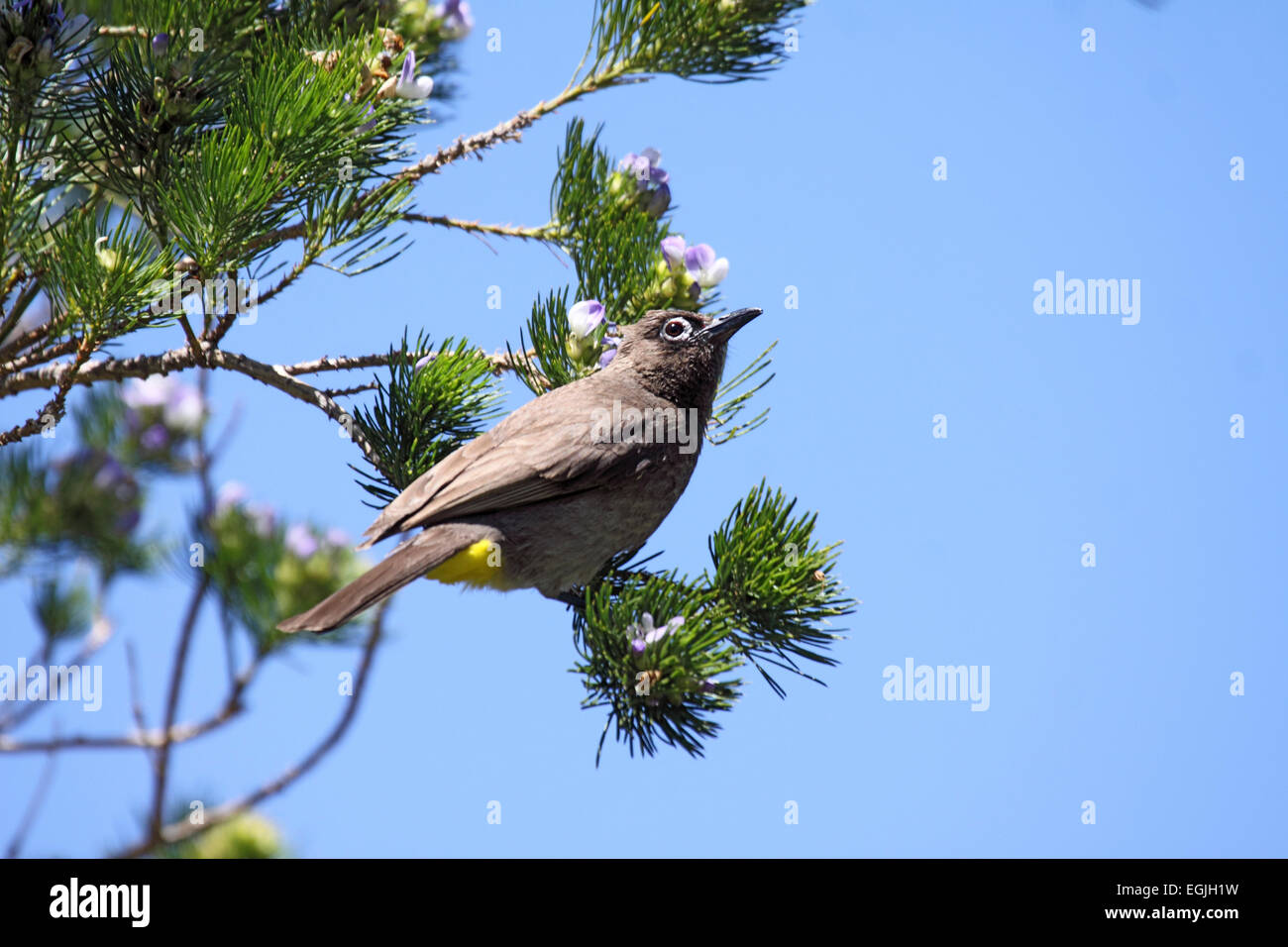 Cape bulbul perched in tree in South Africa Stock Photo