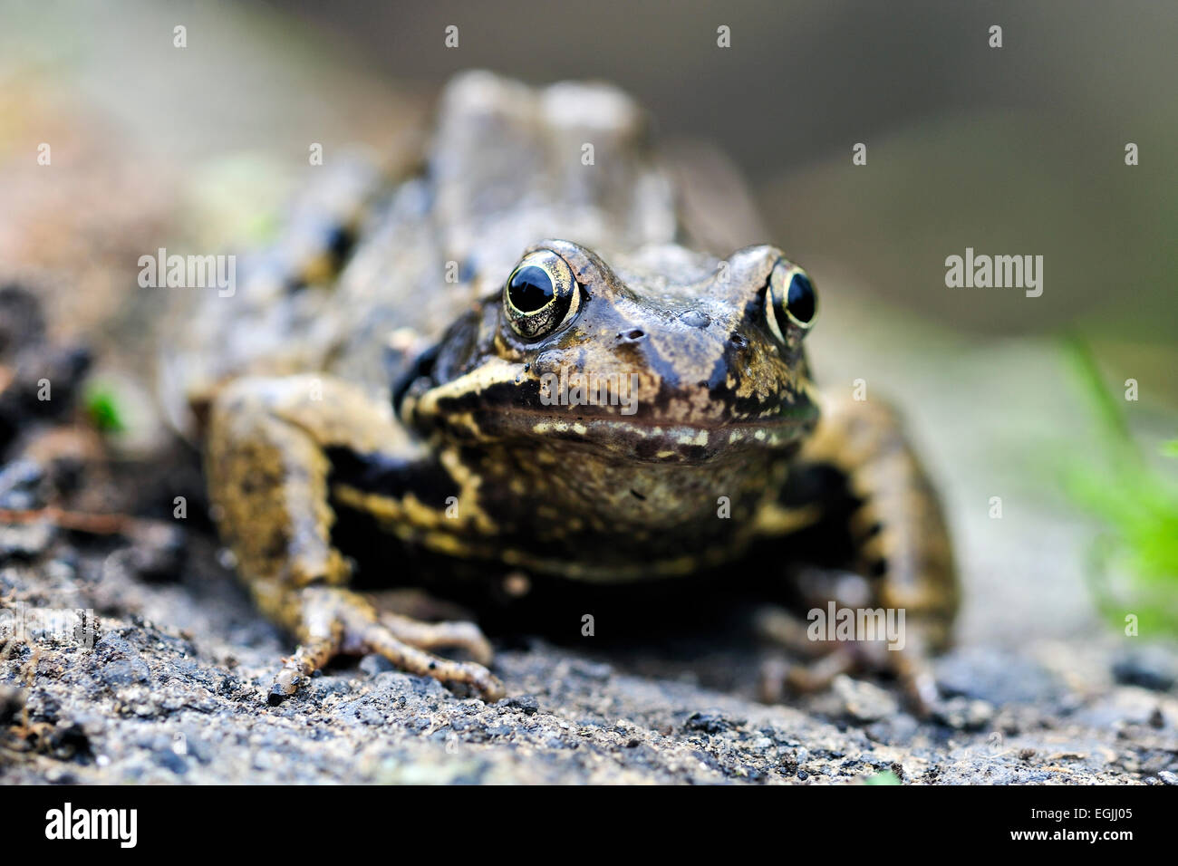 close up of Common frog, Rana temporaria in garden pond uk - Stock Image