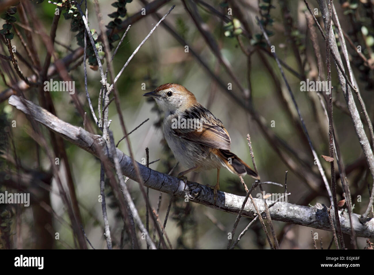Levaillant's cisticola perched on branch amongst scrub in South Africa - Stock Image