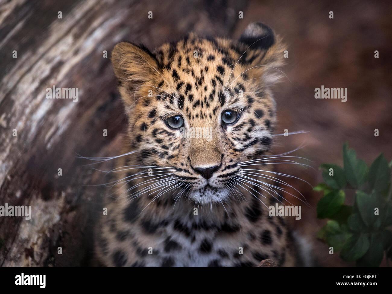 Female Amur leopard cub looking at camera - Stock Image