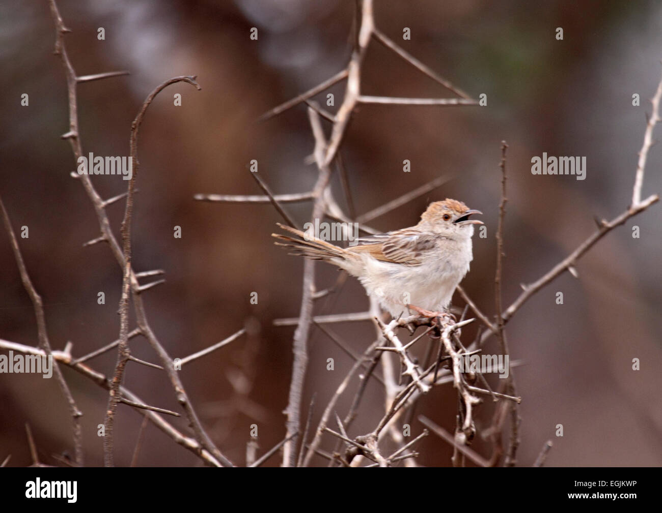 Rattling cisticola singing from branch in scrub in South Africa - Stock Image