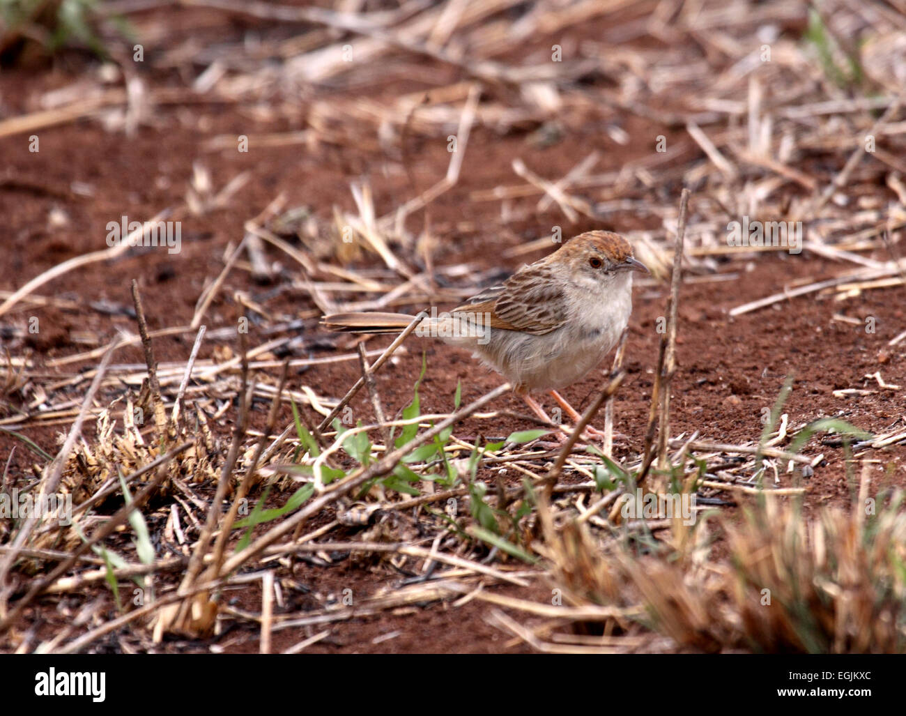Rattling cisticola on bare ground amongst scrub in South Africa - Stock Image