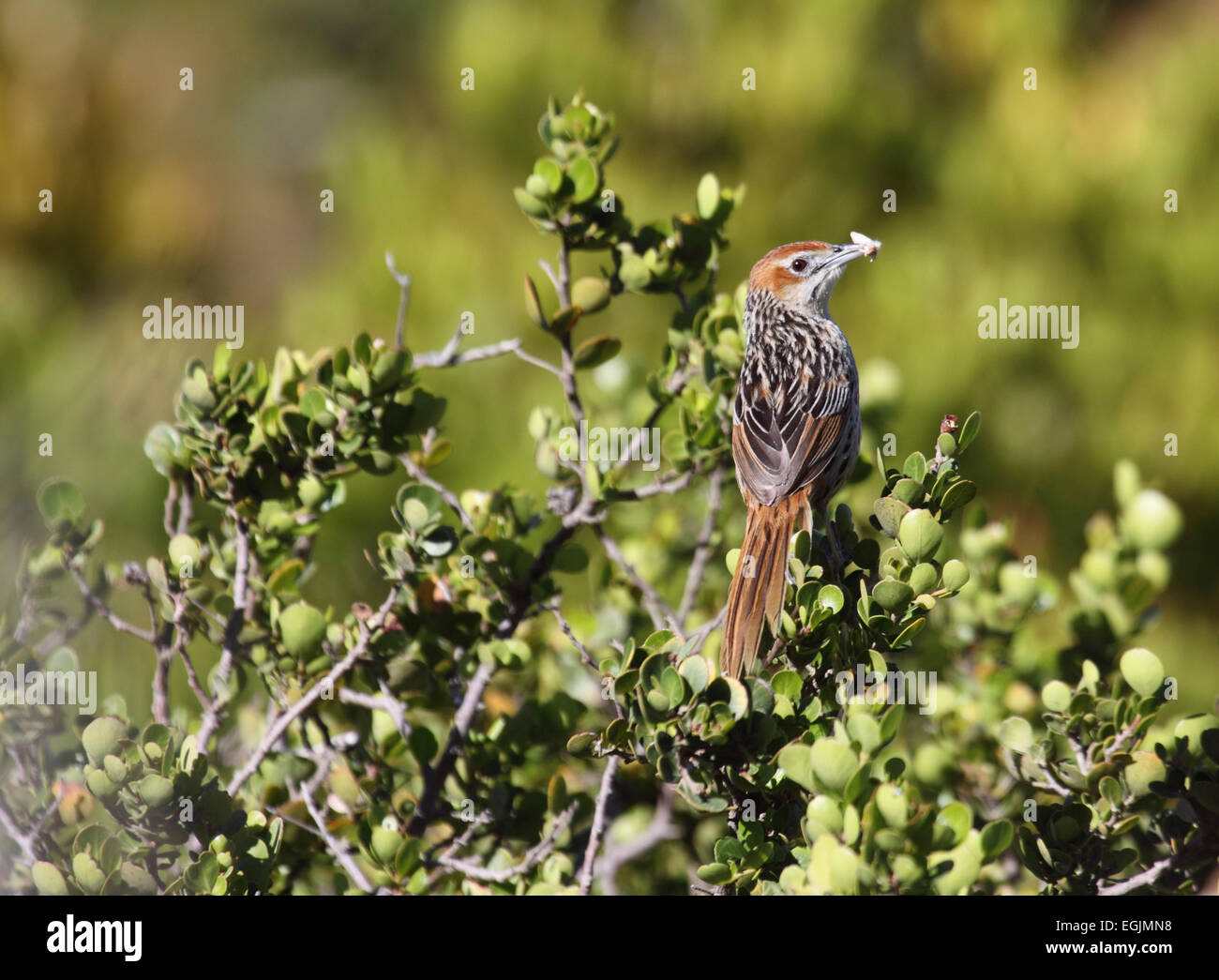 Wailing cisticola with item of food in bill in shrub on rocky hillside in South Africa - Stock Image
