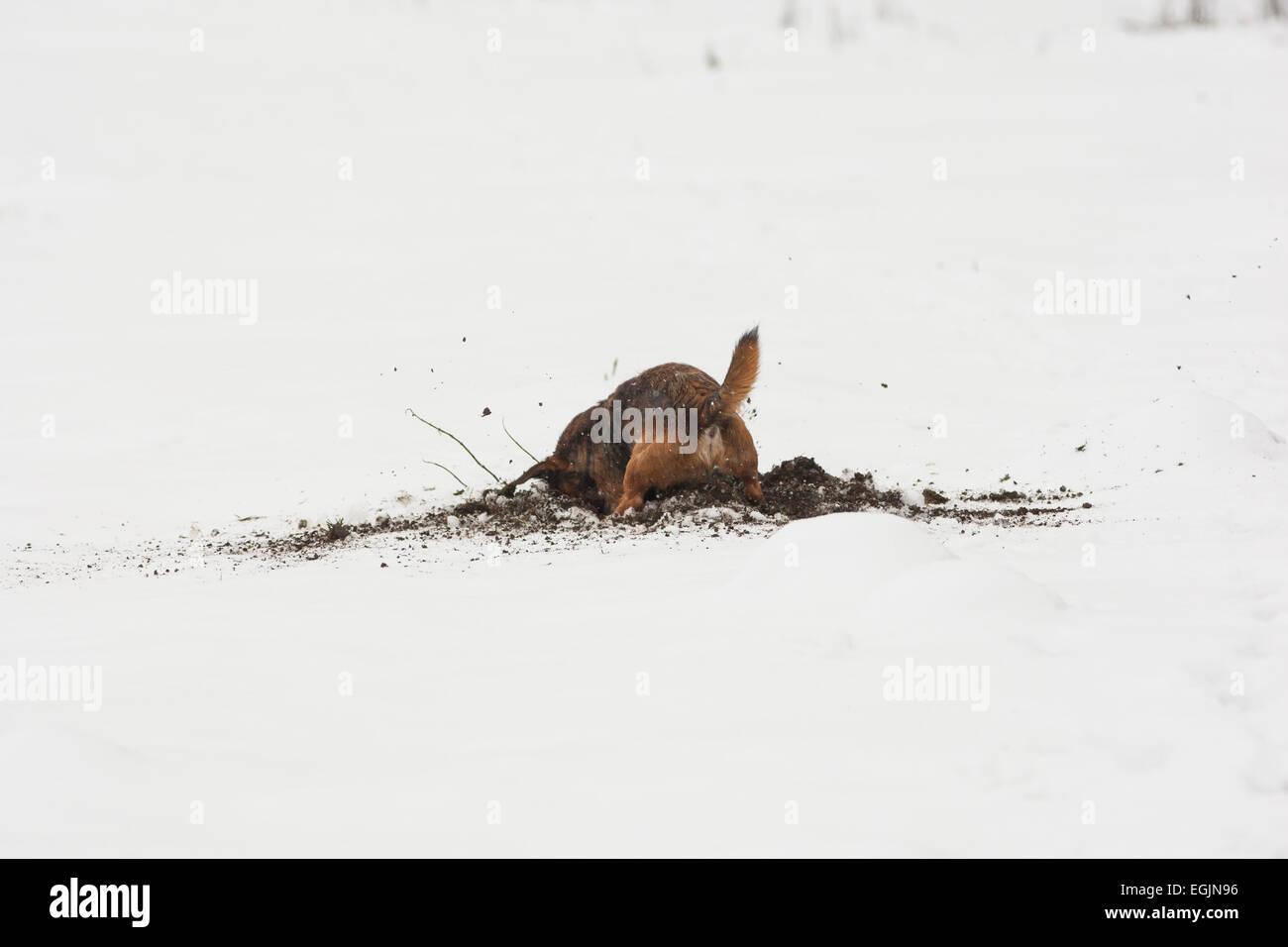 Border terrier cross dog digging in snow - Stock Image