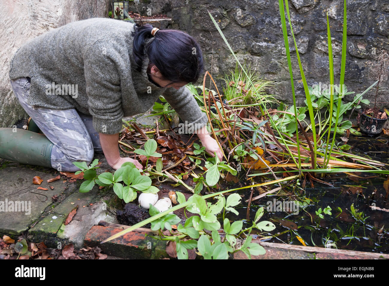lady gardener in wellington boots kneeling while clearing autumn weeds and leaves from overgrown pond - Stock Image