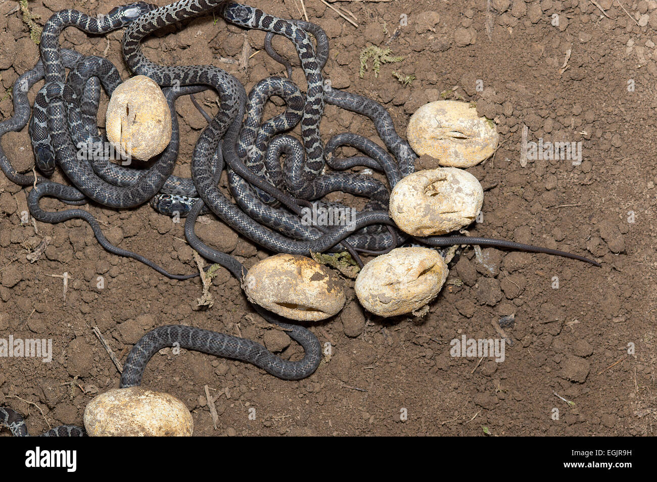 Northern Black Racer Coluber Constrictor Eggs Hatching With Young North American Reptile Snake