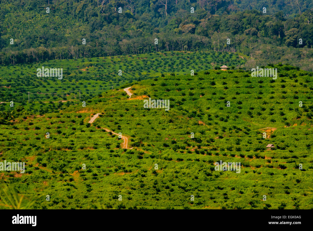 Newly planted oil palm trees at a palm plantation in North Sumatra province, Indonesia. - Stock Image