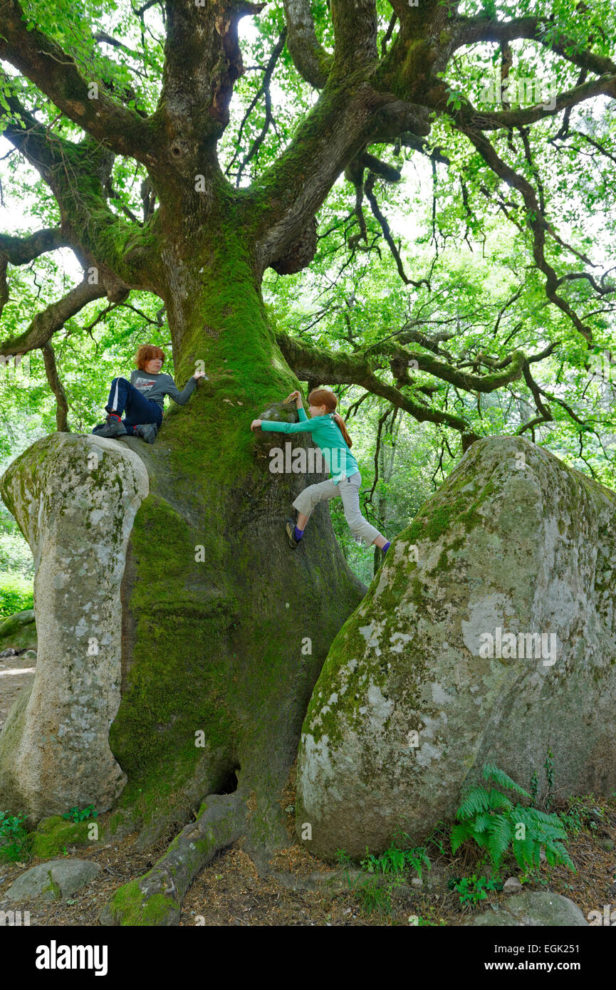 Mighty old oak (Quercus sp.) splitting a stone, kids climbing on natural monument in the Foret de Bavella in Arggiavara - Stock Image