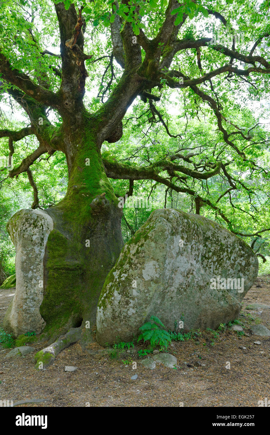 Mighty old oak (Quercus sp.) splitting a stone, natural monument in the Foret de Bavella in Arggiavara, Corse-du - Stock Image