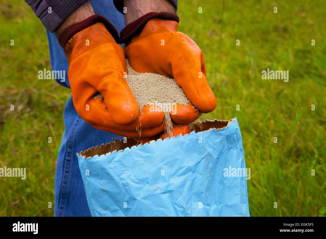 Farmer pouring clover seed through gloved hands into bag. - Stock Image