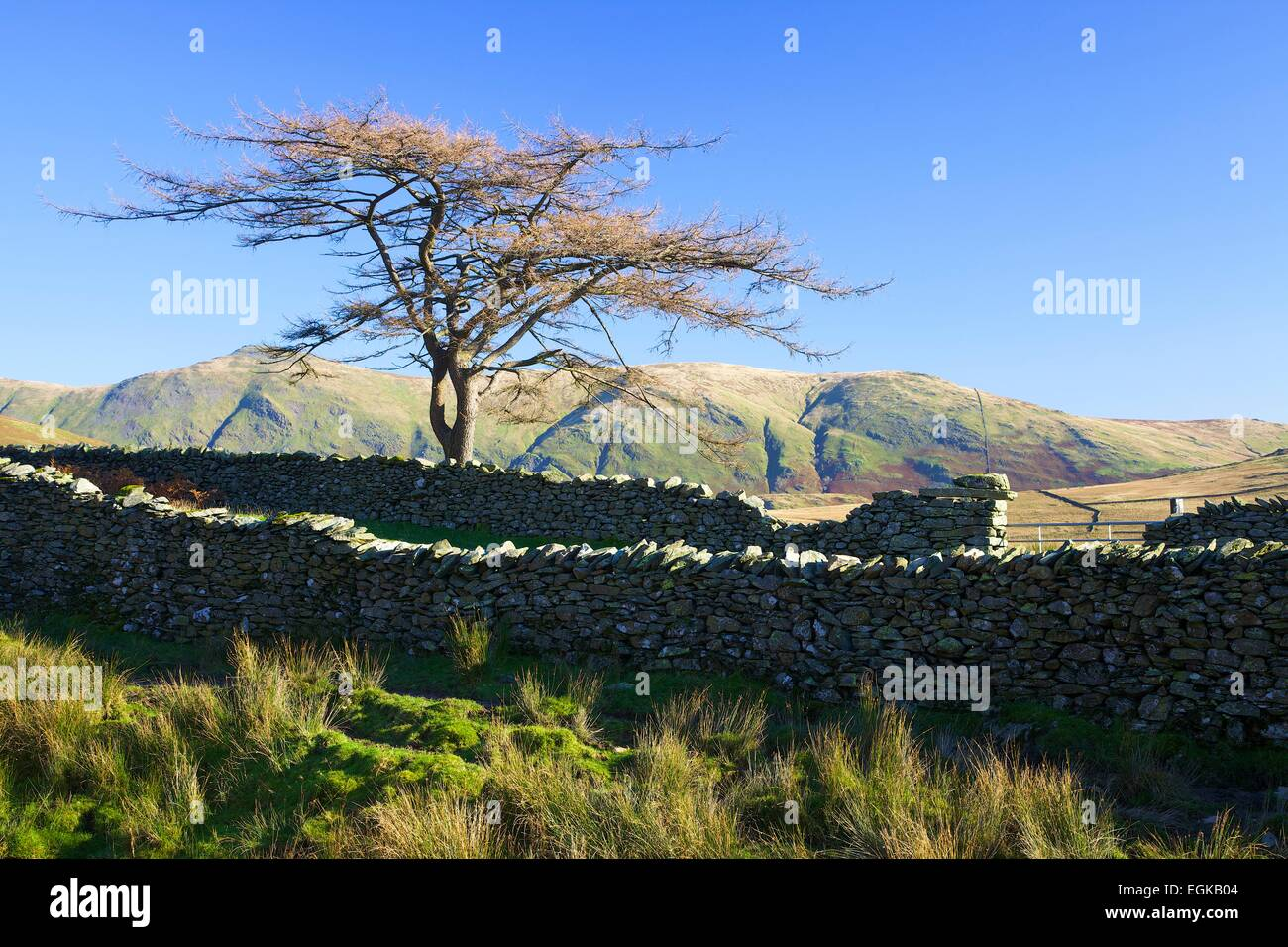 Scots pine by drystone walled. Kirk Stone Pass, Lake District National Park, Cumbria England UK - Stock Image