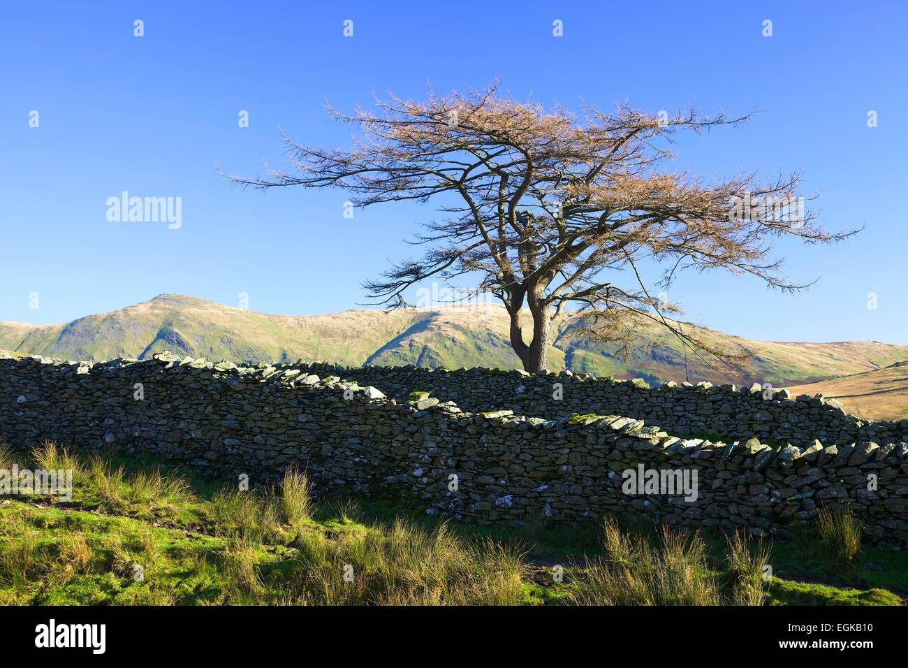 Scots pine by drystone walled road. Kirk Stone Pass, Lake District National Park, Cumbria England UK - Stock Image