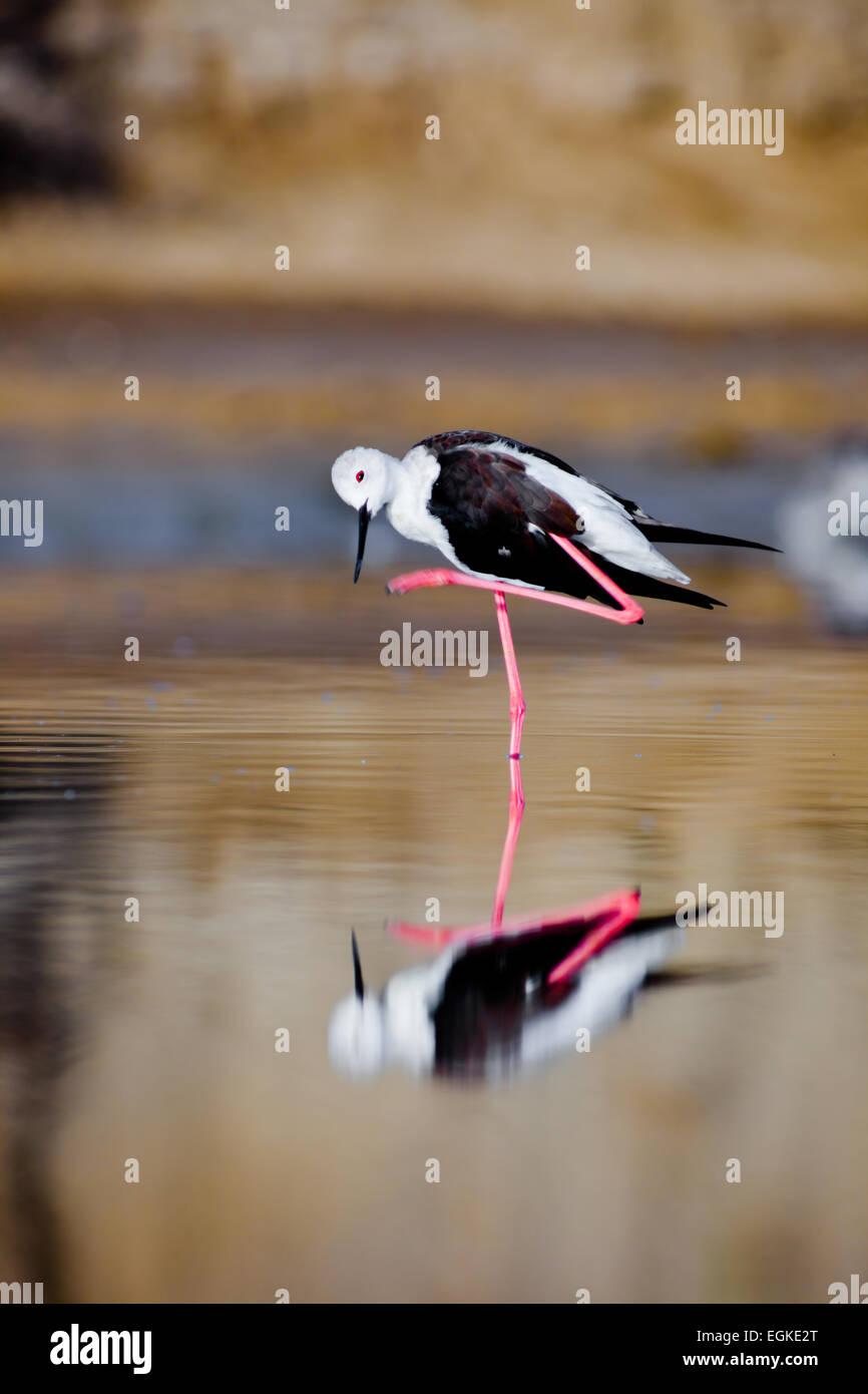 A black-winged stilt sprucing oneself up Stock Photo