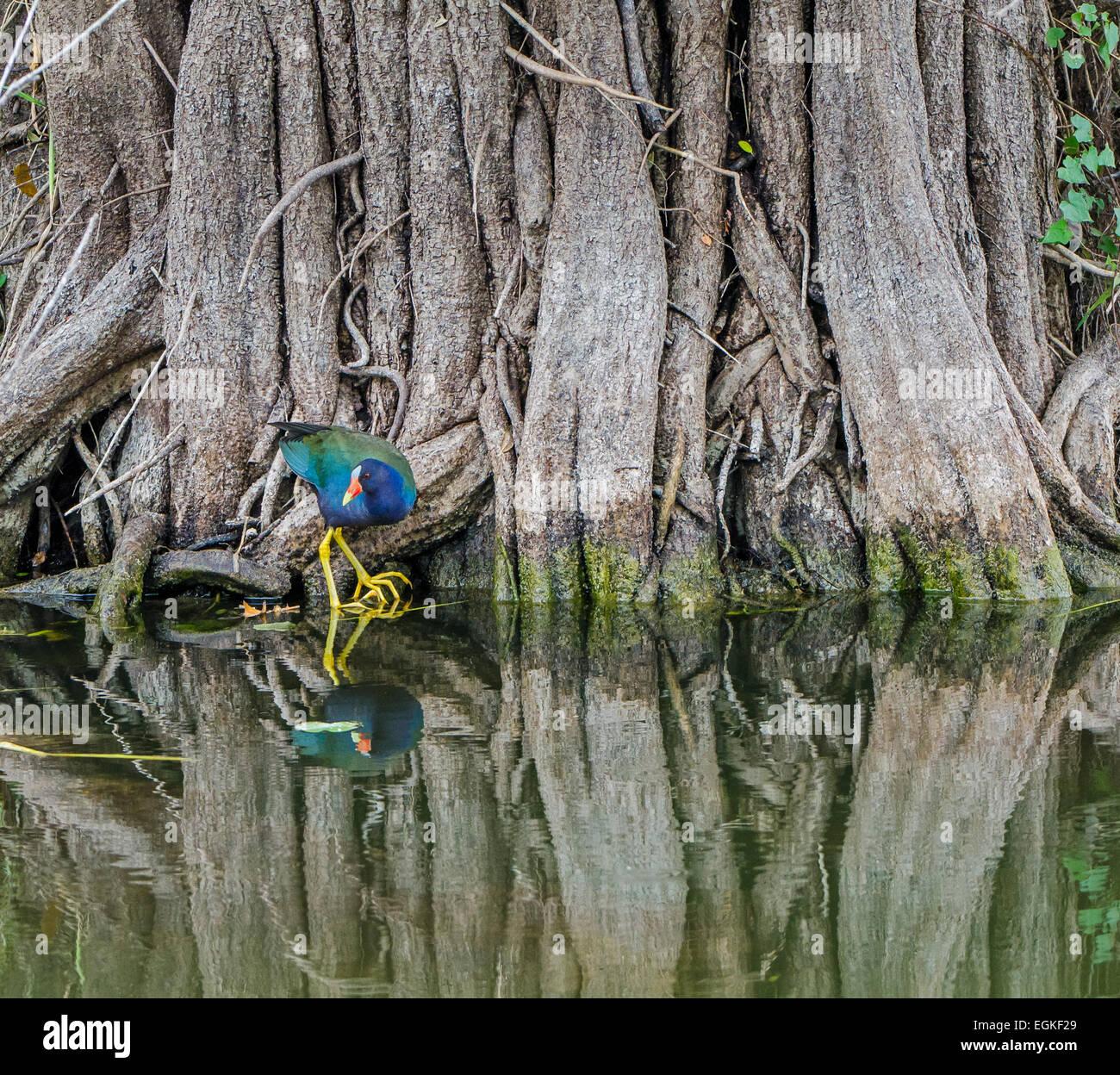 American Purple Gallinule (Porphyrio martinica) hidden in mangroves - Stock Image