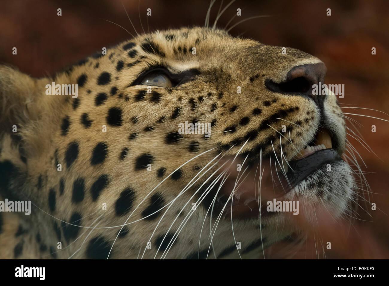 Captive Amur leopard - Stock Image
