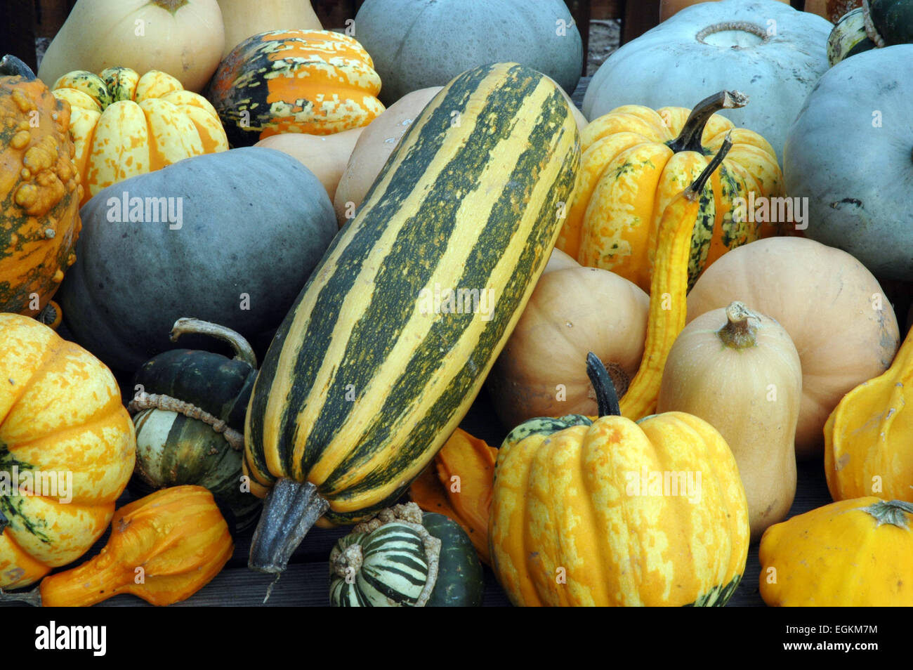 pumpkins and squashes - Stock Image