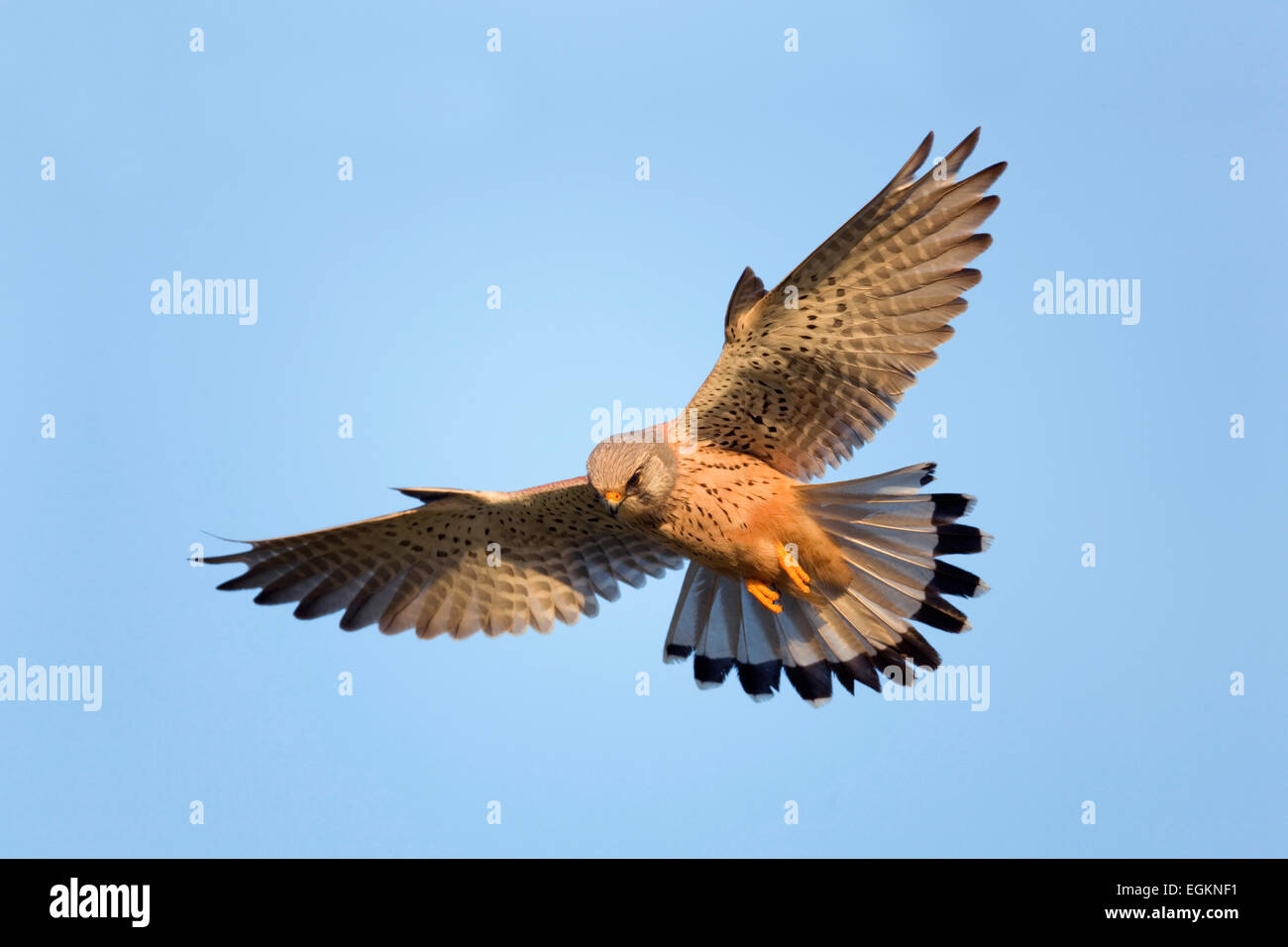 Kestrel; Falco tinnunculus; hovering; Cornwall - Stock Image